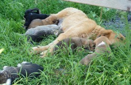 Stray dogs from Romania